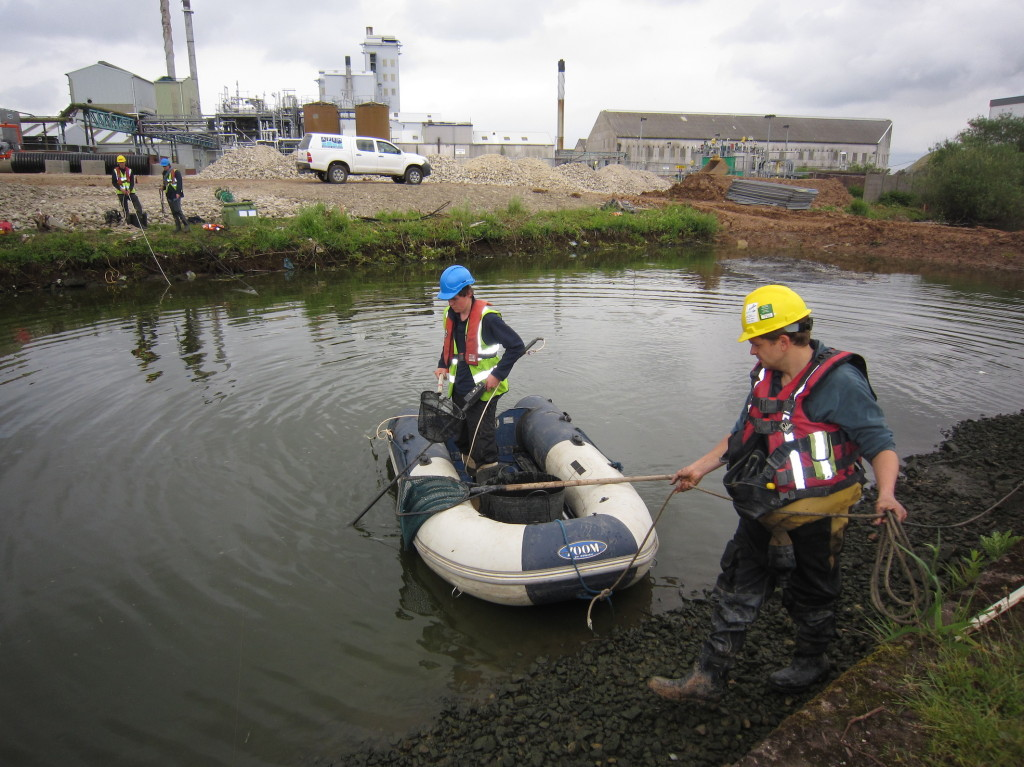 Fish being rescued from the St Helens Canal as part of the Mersey Gateway Project